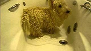 scottish terrier - Morena1