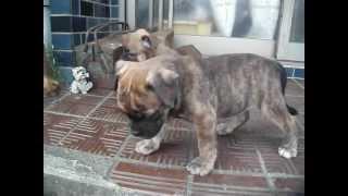 日本産オールディブルドッグの子犬が産まれました。 ホームページ http:...