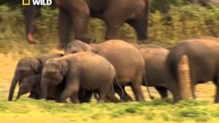 Массовое скопление слонов