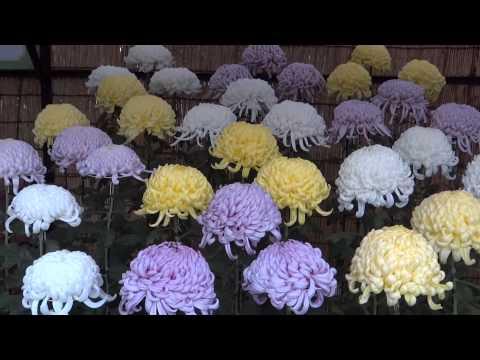 Япония. Выставка хризантем в Ботаническом саду Дзиндаи /Chrysanthemum exhibition Chofu Jindai Garden