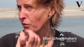 Nederland aan het zeewier: wildknippen in Zeeland  - de Volkskrant