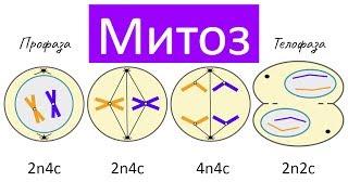 Митоз - деление клетки | самое простое объяснение
