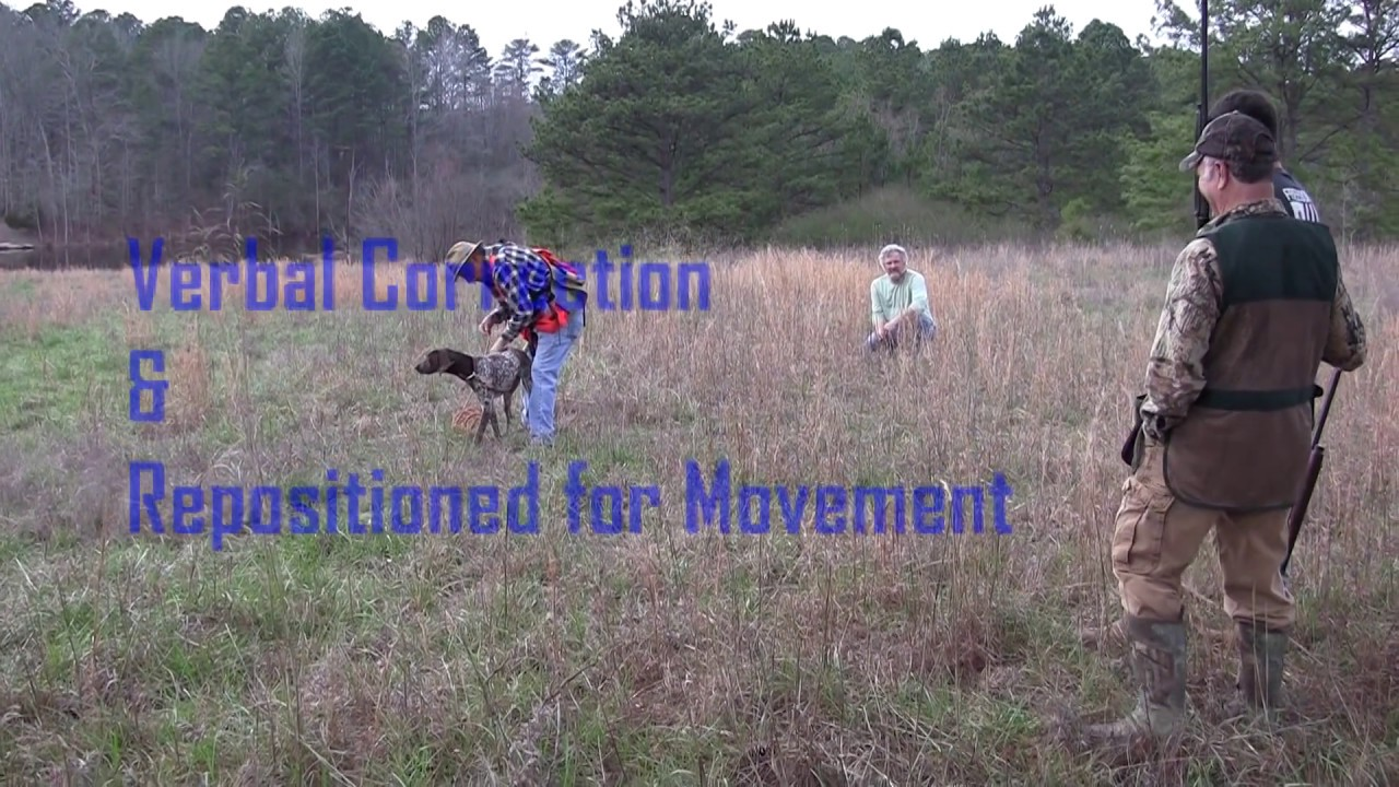 Clicker Training Bird Dogs In The Field On Quail Molly 2 18 17