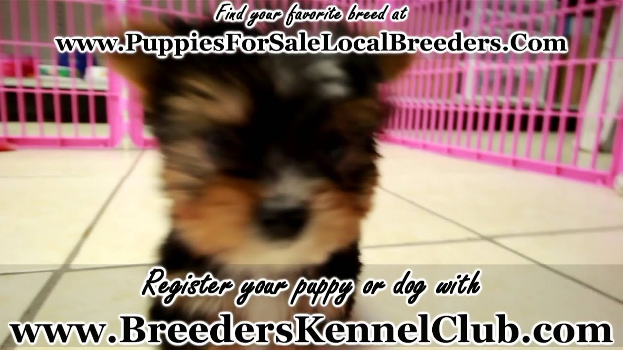 Yorkie Puppies For Sale Local Breeders Youtube