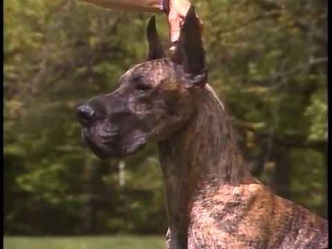 Great Dane  AKC Dog Breed Series