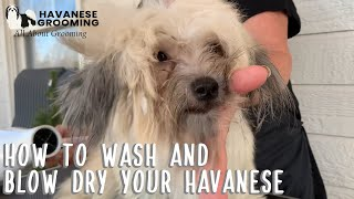 How to Wash and Blow Dry Your Havanese