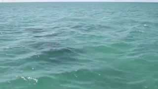 Wild Free Dolphins Swimming Marathon Florida, Keys ocean sea natural