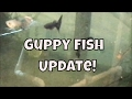 Guppy Fish Update Fish Room Vlog New Guppies Purple Guppy Fish