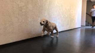 Cocker Spaniel Running In Slow Motion With Iphone 5
