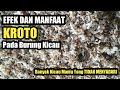 Manfaat Dan Efek Kroto Untuk Burung Kicau Kicaumania Burung Kroto  Mp3 - Mp4 Download