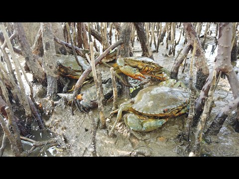HUNTER CRAB - Finding Mud Crabs At Beautiful Mangrove Forest Area