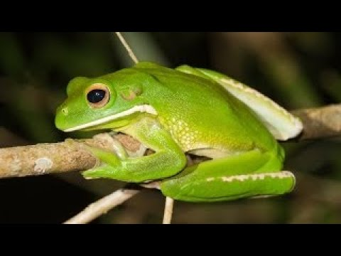 Nature Frogs: The Thin Green Line ~ Nature Documentary