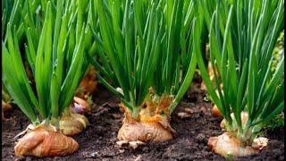 Самый простой и надежный способ выращивания лука на зелень. Бизнес идея.