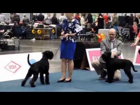 Schnauzer black Best Of Breed - German Winner dog show, Leipzig 2017