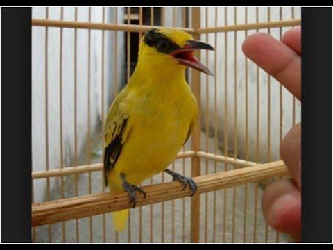 Kicau Burung Kepodang Emas, Gacor, Unik, Lucu