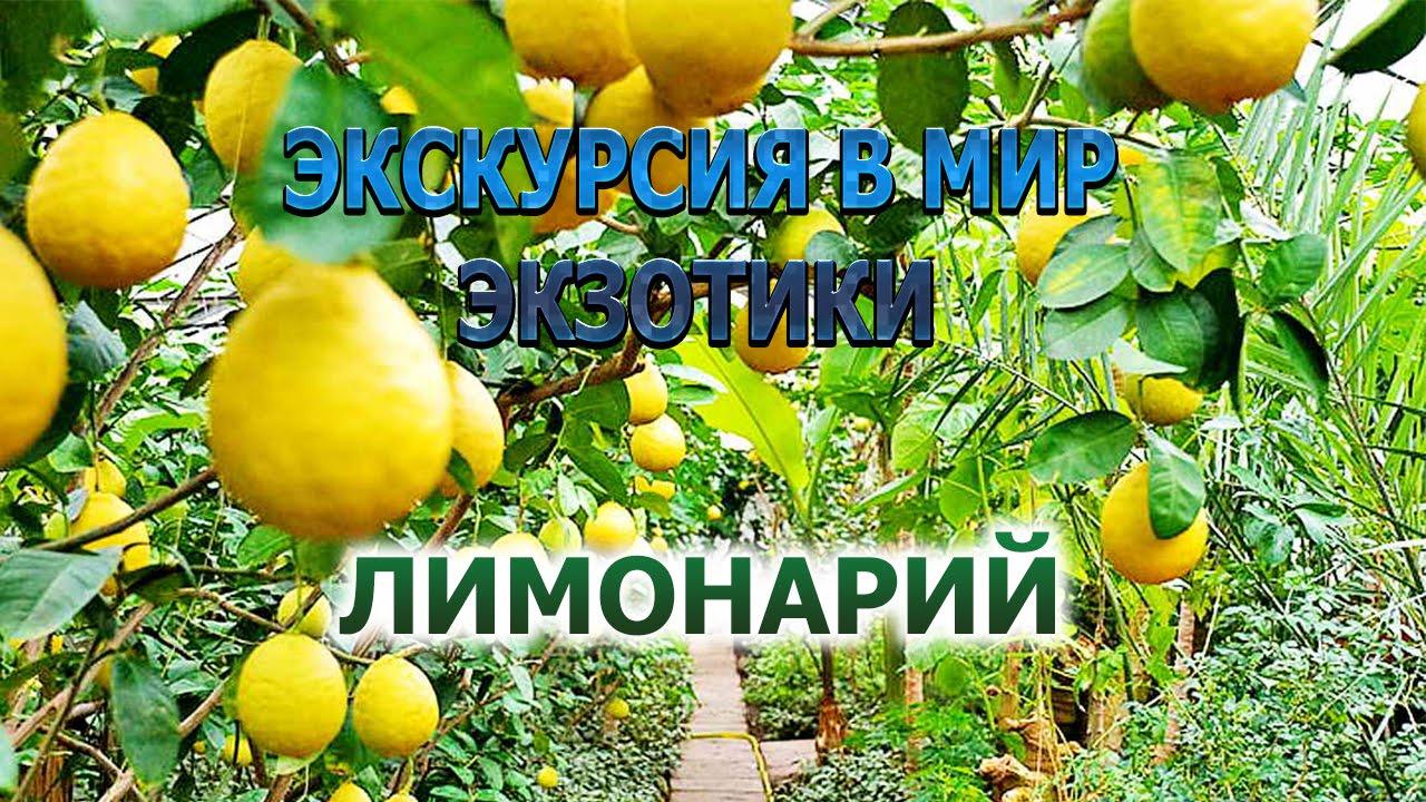 Картинки по запросу Посещение лимонария