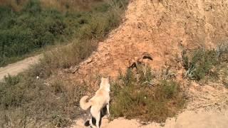 Лиса против собаки на пляже в Леонидово / Fox vs Dog on the beach