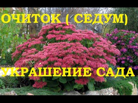 Очиток (седум) многолетнее украшение любого сада!