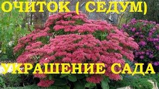 Очиток (седум) - многолетнее  украшение любого сада!