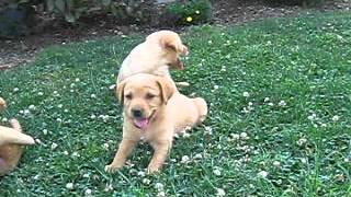 Yellow Lab Puppies For Sale In Pennsylvania