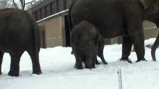 Elephant playing in snow in Oregon Zoo in Portland