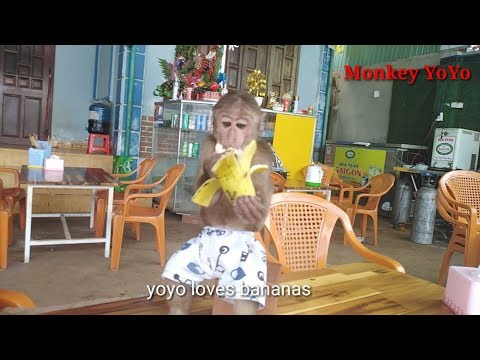 Monkey Baby | yoyo has a new chair to sit and eat bananas