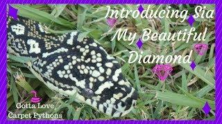 Meet Sia My Beautiful Diamond Python