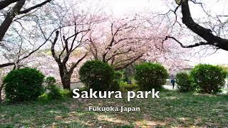 sakura pre-wedding photo session in Fukuoka and Japan.