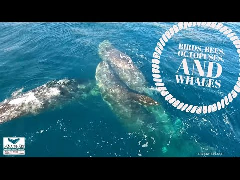 RARE 3 Gray Whales Mating