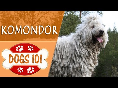 Dogs 101 - KOMODOR - Top Dog Facts About the KOMODOR