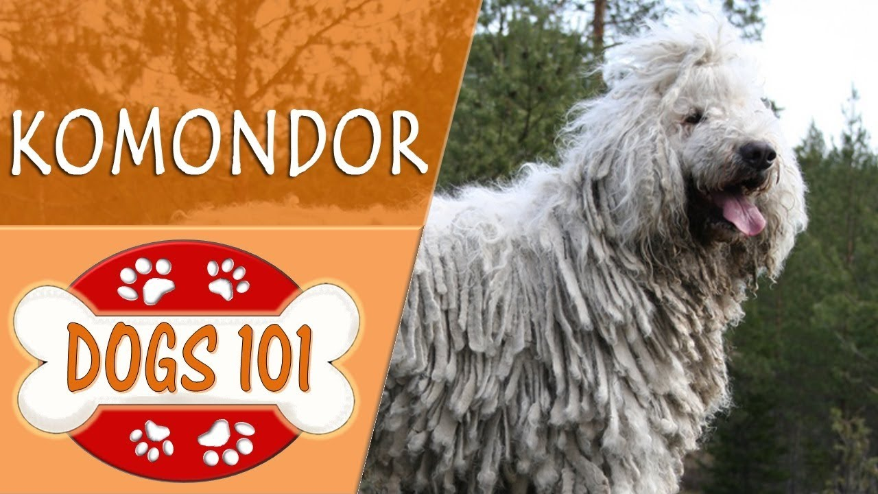 Dogs 101 Komodor Top Dog Facts About The