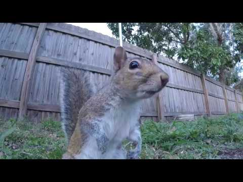 Cute Squirrels Climb Pole to Get to Bread | Eastern Gray Squirrels Eating Fighting Nature