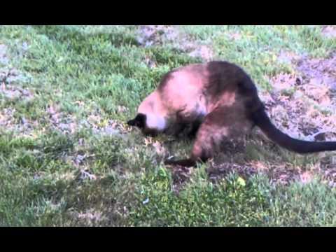 Cat Catches Gopher