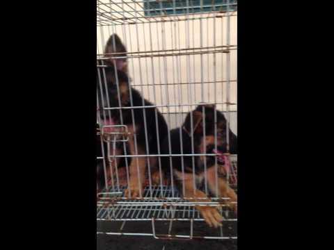 Chó becgie đức, chó con 0904035466 Duyến
