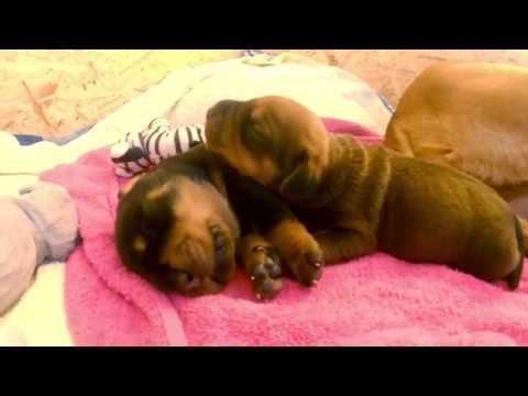 Unique Rottweiler X Rhodesian Ridgeback Mix Puppies