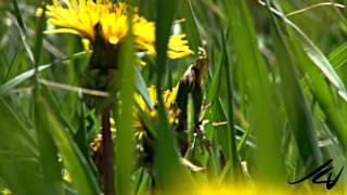 Dandelion -  Taraxacum officinale (cc)
