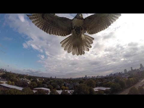 Hawk vs. Drone! (Hawk Attacks Quadcopter)