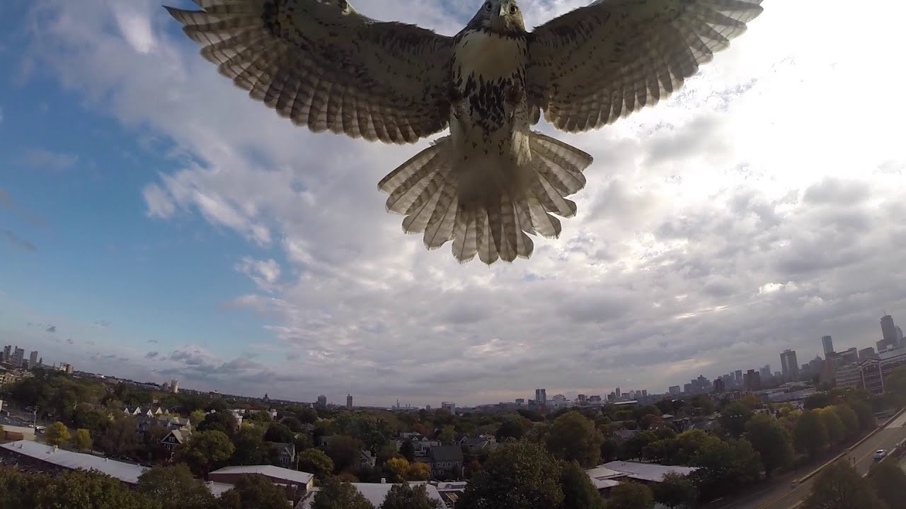 Drone Hawk Attacks Quadcopter