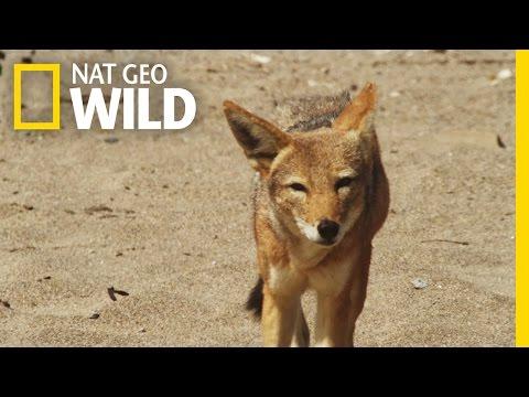 Jackal on the Hunt | Gangster Jackals