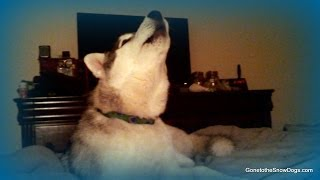 Husky Puppy Howling Memphis Learning to Howl *SNOW DOG SHORT 16* thumbnail