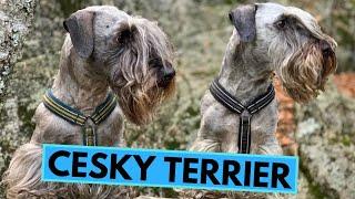 Cesky Terrier  TOP 10 Interesting Facts