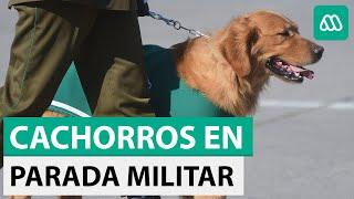 Parada Militar 2018: Cachorros de Carabineros dentro de bolsos se volvieron a robar las miradas