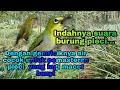 Pemasteran Terapi Burung Pleci Biar Mau Ngriwik  Mp3 - Mp4 Download