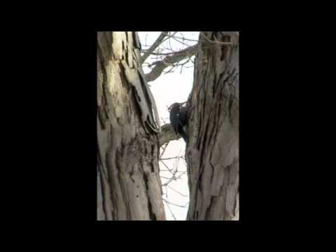 Pileated woodpecker, Denville NJ