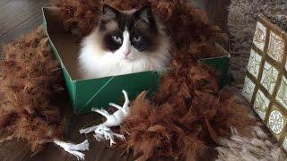 Timo The Ragdoll Cat Having Christmas Fun