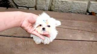 Teacup Size Maltese For Sale.