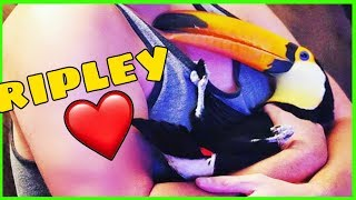 ripley-s-last-video-ripley-the-toucan