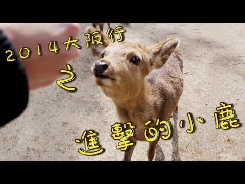 【小香旅遊】去奈良公園給小鹿玩 超恐怖爆走的小鹿們(((゚Д゚;)))