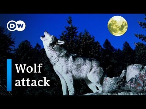 Wolves in Germany: Farmers fear for their livestock | DW News