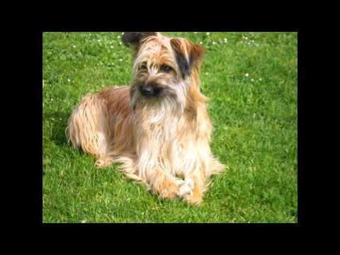 Пиренейской Овчарки/Pyrenean Shepherd (порода собак HD slide show)!